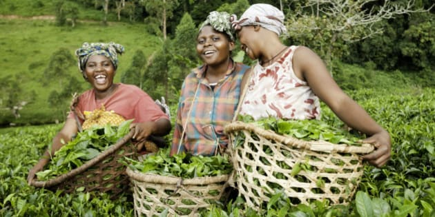 Three African women laugh while they collect green tea leaves in the countryside of Uganda.