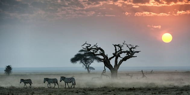 Burchell's zebras walking across dusty plain at sunset, Amboseli National Park, Kenya.