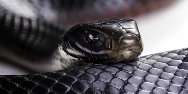 A red bellied black snake (Pseudechis porphyriacus) up close on a white background