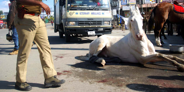 DEHRADUN, INDIA - MARCH 14: Police horse Shaktimaan got his leg fracture after allegedly beaten by BJP MLA during a BJP rally at Vidhansabha, on March 14, 2016 in Dehradun, India. (Photo by Vinay Santosh Kumar/Hindustan Times via Getty Images)