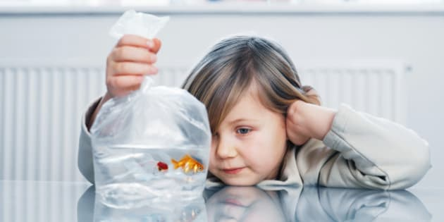 Girl (4-6) looking at two goldfish in plastic bag