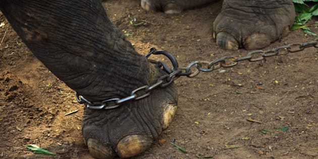 GURUVAYUR, KERALA, INDIA - DECEMBER 03: Indian elephant in the Annakotta Sanctuary with legs in chains, which is dedicated to the Sri Krishna Temple on December 03, 2011 in Guruvayur, Kerala, India. (Photo by EyesWideOpen/Getty Images)
