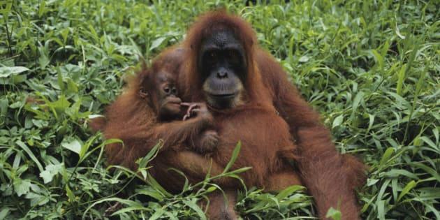 Orang-utan (Pongo pygmaeus) with young, sitting, Gunung Leuser National Park, Indonesia