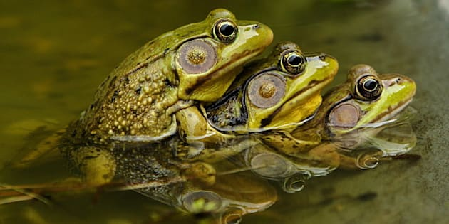 Frogs Mating Symmetrical Water Reflection