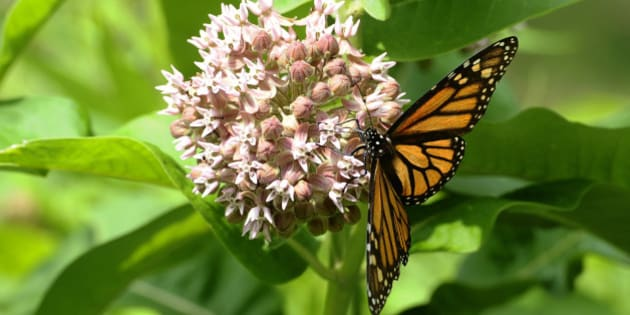 CMCC-JUNE 12th 2012.pics of Monarch butterfly on common milkweed. Horticulturalist Colleen Cirillo of the Toronto and Region Conservation Autority takes us on a tour of High Park to show the damage that non native species like English Ivy,periwinkle and dogwood maple can do to their environment in the park and perhaps in your garden as some of these are sold at your local garden store. (Photo by Colin McConnell/Toronto Star via Getty Images)