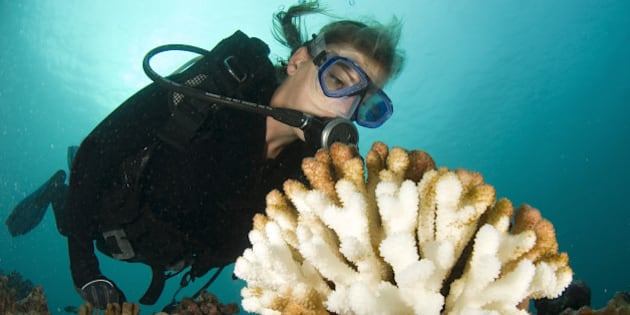 scuba diver scrutinizes a bleached wart coral that is a consequence of global warming