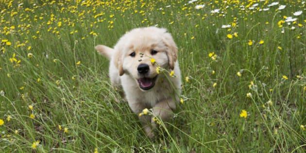 Golden Retriever puppy running in wild flowers