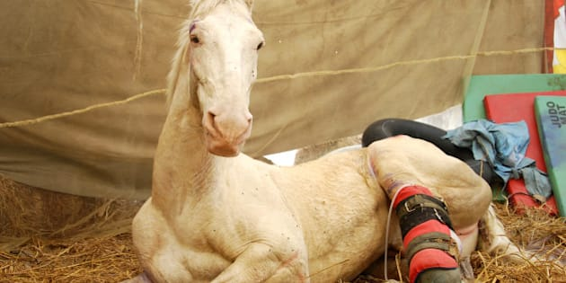 DEHRADUN, INDIA - APRIL 4: Police horse Shaktiman, who got injured during a BJP rally, being treated at Police Lines on April 4, 2016 in Dehradun, India. Injured limb of Shaktiman had to be amputated. Prosthetic limb has been designed for Shaktiman. His rehabilitation efforts were finally paying off as he was now able to stand and sit on prosthetic limb without any help. (Photo by Vinay Santosh Kumar/Hindustan Times via Getty Images)