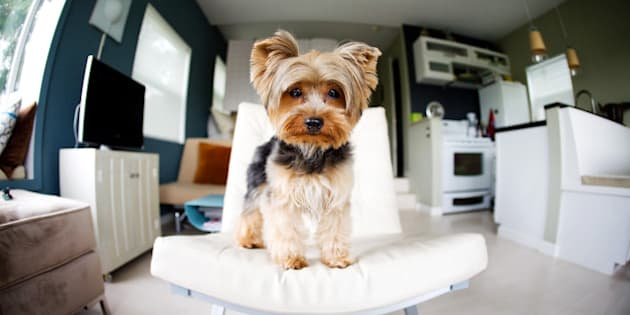 A yorkshire terrier stands on a  modern white chair in a studio apartment.