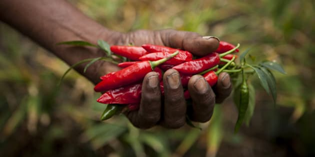 A farmer picks ripe red chillies which will be sold as fairtrade chillies.