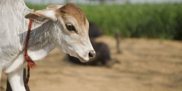 Close-up of a calf, Farrukh Nagar, Gurgaon, Haryana, India