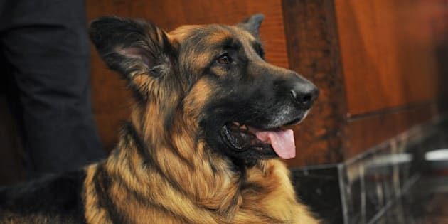 NEW YORK, NY - FEBRUARY 26:  German Shepherd Nunzio attends the American Kennel Club Top Breeds of 2014 reveal at AKC Headquarters on February 26, 2015 in New York City.  (Photo by Jenny Anderson/WireImage)