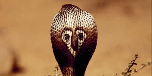 Indian Cobra or Spectacled Cobra (Naja naja), Elapidae. India.