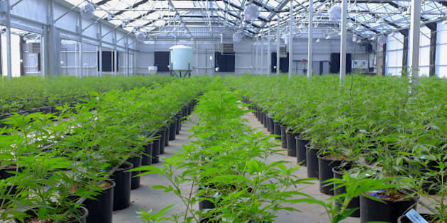 Marijuana plants grow in a greenhouse at the Los Suenos Farms facility in Avondale, Colorado, U.S., on Thursday, Feb. 25, 2016. About 938 dispensaries, which outnumber Starbucks in Colorado, in 2015 yielded $135 million in state taxes and fees, 44 percent more than a year earlier. Yet as the market enters its third year after voters legalized retail sales in 2012, officials question whether the newfound income outweighs the escalating social costs. Photographer: Matthew Staver/Bloomberg via Getty Images