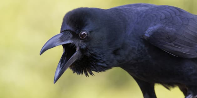 Close up of a Jungle crow. It makes sound loudly and looking with an angry expression.