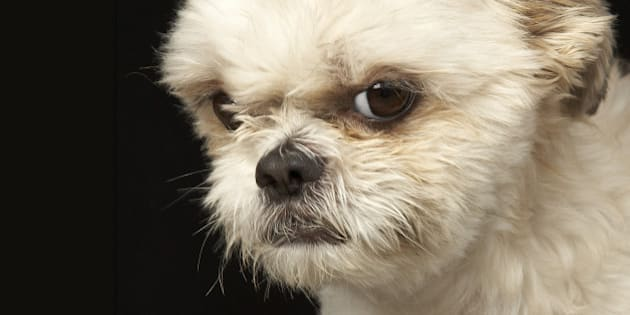 Angry white Shih Tzu with brown eyes