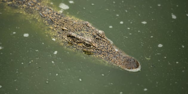 A Cuban crocodile (Crocodylus rhombifer) is seen in a hatchery at Zapata Swamp National Park, June 4, 2015. Ten baby crocodiles have been delivered to a Cuban hatchery in hopes of strengthening the species and extending the bloodlines of a pair of Cuban crocodiles that former President Fidel Castro had given to a Soviet cosmonaut as a gift in the 1970s. Picture taken June 4, 2015. REUTERS/Alexandre Meneghini