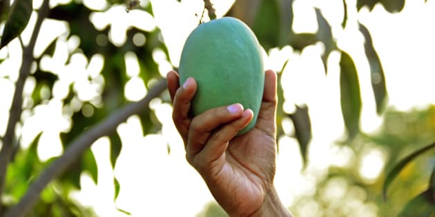 A man plucking a mango from the tree.