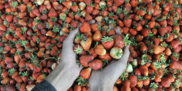 SRINAGAR, INDIA - MAY 16: Kashmiri farmers pack strawberries before sending them to the market at a farm on May 16, 2016 in the outskirts of Srinagar, India. Timely rain and favourable weather has proved a boon for the strawberry farmers in Kashmir and they expect bumper production this year. (Photo by Waseem Andrabi/Hindustan Times via Getty Images)