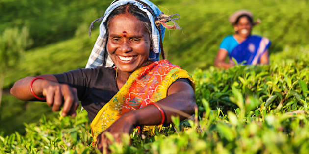 Tamil women plucking tea leaves in Southern India, Kerala. India is one of the largest tea producers in the world, though over 70% of the tea is consumed within India itself.