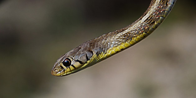 The Striped Keelback