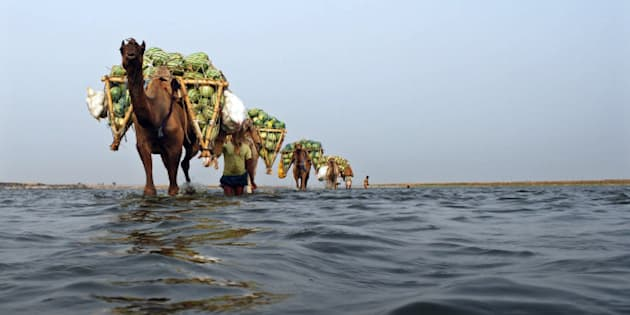Farmers use camels to transport their watermelons across the river Ganges at Neevna village on the outskirts of the northern Indian city of Allahabad May 6, 2010. India's food price index rose an annual 16.04 percent in the 12 months to April 24, government date showed on Thursday. REUTERS/Jitendra Prakash     (INDIA - Tags: BUSINESS SOCIETY) BEST QUALITY AVAILABLE