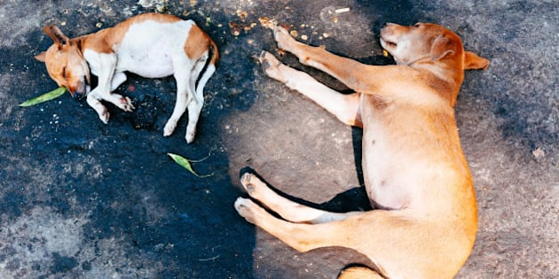 CALCUTTA, WEST BENGAL, INDIA - 2013/12/30: Dogs sleeping on the ground around Kalighat temple. (Photo by Raquel Maria Carbonell Pagola/LightRocket via Getty Images)
