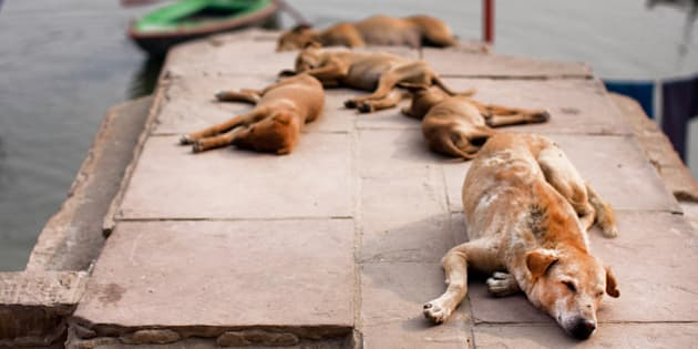 Stray dogs sleeping in the sun near the river bank in the Indian city
