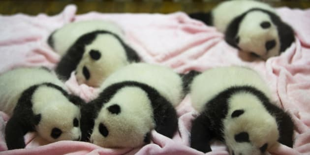 CHENGDU RESEARCH BASE OF GIANT PANDA BREEDING, CHENGDU, SICHUAN PROVINCE, CHINA - 2015/09/21: Baby Pandas of three year old, sleeping on bed in nursery room.  Chengdu Research Base of Giant Panda Breeding, founded in 1987, is a non-profit research and breeding facility for giant pandas and the worlds only museum that focuses entirely on the endangered giant panda.  According to the census of 2014, there are only 1,864 giant pandas alive in the wild. (Photo by Zhang Peng/LightRocket via Getty Images)