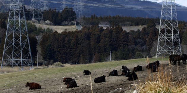 """In this Tuesday, Feb. 23, 2016 photo, electric pylons stand near cattle resting at the Ranch of Hope, run by rancher Masami Yoshizawa, in Namie, Fukushima Prefecture, northeastern Japan. Yoshizawa, 62, has been raising 330 cows at his ranch in the no-go zone just outside the crippled Fukushima nuclear plant, defying a government order to kill them. The prized black """"wagyu"""" beef can never be eaten, but Yoshizawa keeps the cattle as living proof of the disaster and the unwanted truths the government may be hiding. (AP Photo/Shizuo Kambayashi)"""
