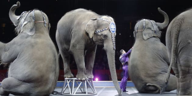 Asian elephants perform for the final time in the Ringling Bros. and Barnum & Bailey Circus Sunday, May 1, 2016, in Providence, R.I. The circus closes its own chapter on a controversial practice that has entertained audiences since circuses began in America two centuries ago. The animals will live at the Ringling Bros. 200-acre Center for Elephant Conservation in Florida. (AP Photo/Bill Sikes)