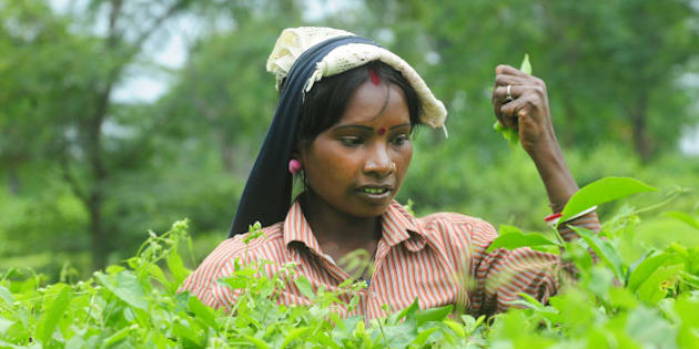 JALPAIGURI, INDIA - NOVEMBER 3: Workers plucking leaves at Nagaisuree Duncan tea garden on November 3, 2015 in Jalpaiguri, India. 15 Duncans-owned tea gardens are neither closed nor open since last may. Duncans, which produces around 15 million kg of tea a year, had shut plantations in West Bengals Nothern region through the key plucking season of June-September. Duncans crop loss in 2015 is estimated at 80% of its production capacity. Due to non-payment of wages many workers are suffering from extreme poverty and malnutrition. According to locals and trade union leaders, at least 11 people have died at these estates in the past few weeks because of malnutrition. The future of an estimated 25,000 people who work at these estates now hang in the balance. Many workers are migrating to states like Assam, Karnataka and Kerala is leaving the local tea gardens without quality labour. (Photo by Indranil Bhoumik/Mint via Getty Images)