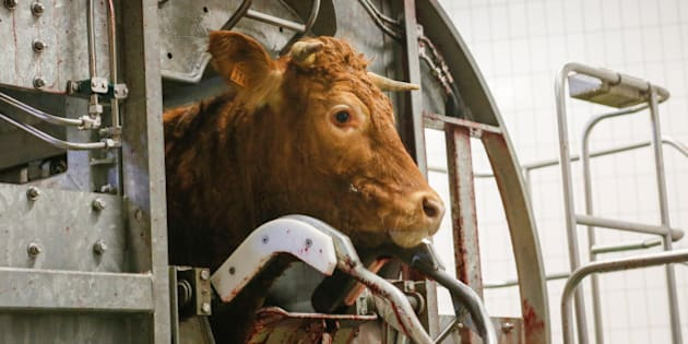 A cow is prepared for slaughter at Cibevial cattle slaughterhouse in Corbas, France, May 4, 2016. REUTERS/Robert Pratta