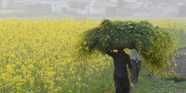 An Indian farmer carries mustard crop after harvest at Kanachak village, outskirts of Jammu, India, Monday, Feb.29, 2016. India pledged Monday to invest billions of dollars to improve the lives of farmers and boost the rural economy, drive consumer demand and stimulate growth. Finance Minister Arun Jaitely proposed spending nearly $13 billion on rural development, promising higher incomes for farmers who form the majority of India's 1.2 billion people.(AP Photo/Channi Anand)