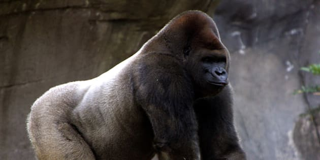 Bantu, a male gorilla, walks in Mexico City's Chapultepec Zoo January 26, 2006. Arila, a 25-year-old female gorilla on loan from Zacango Zoo, was allowed to venture into Bantu's enclosure for the first time to allow the gorillas to mate. REUTERS/Henry Romero