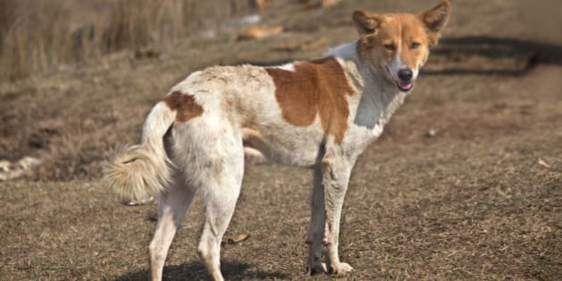 Indian dog, full view