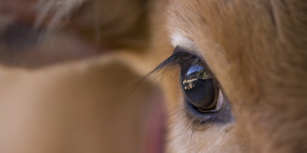 Close-up of the eye of a local cow calf, Bandhavgarh National Park, Madhya Pradesh, India