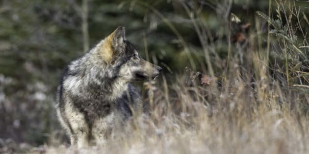 A wild wolf pup stands in a meadow in Banff National Park.