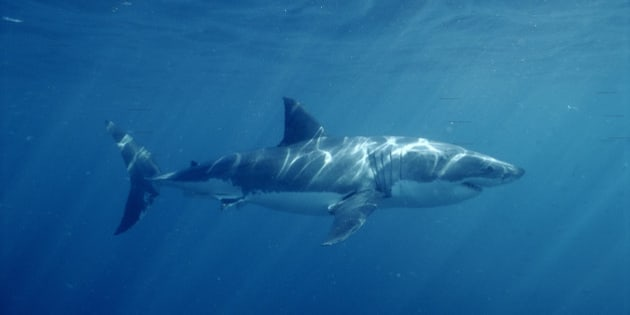 Great White Shark Swimming Underwater