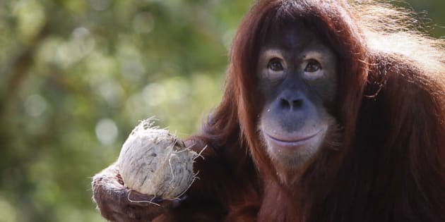 Tsunami, an eleven year old female Sumatran Orangutan eats fruit during her birthday celebration at the National Zoo Ape Center in Kuala Lumpur, Malaysia, Thursday, Dec. 31, 2015. (AP Photo/Joshua Paul)