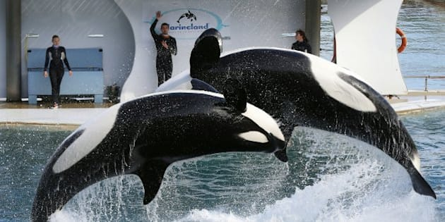 Orcas jump during a show at the Marineland on the French riviera city of Antibes, southeastern France, on March 17, 2016.   / AFP / VALERY HACHE        (Photo credit should read VALERY HACHE/AFP/Getty Images)
