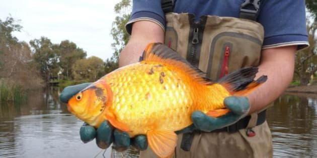 I pesci rossi buttati nei fiumi e nei laghi crescono e for Vasca x pesci rossi