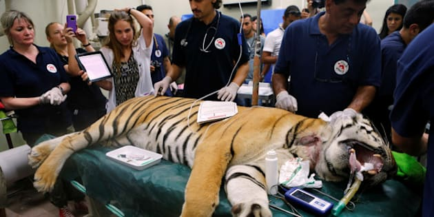 """Laziz, an 8-year-old tiger, part of group of 15 animals from Gaza, the last survivors of the """"worst zoo in the world"""", where dozens of animals died of starvation, is checked at the Hebrew University Veterinary Teaching Hospital in Rishon LeZion in Israel, after leaving Gaza on Wednesday for sanctuary out the Palestinian territory, in a rescue mission organised by international animal welfare group Four Paws August 24, 2016. REUTERS/Nir Elias"""