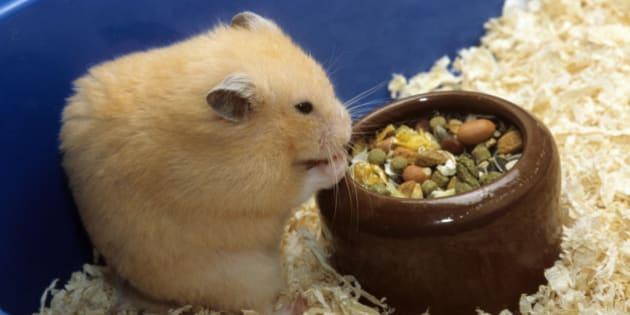 hamster porr stockholm porr