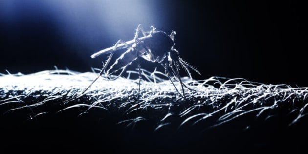 mosquito on arm, Culicidae aedes