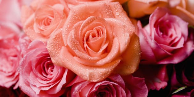 Wet roses with dew