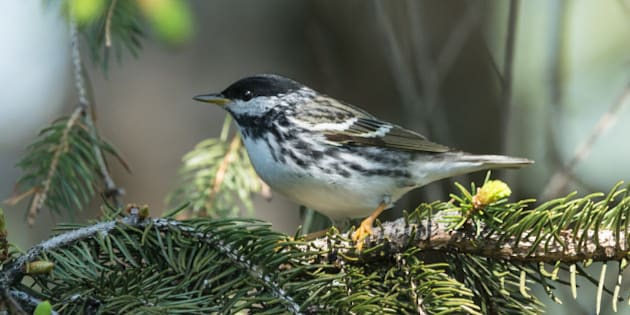 Blackpoll Warbler perched on a pine tree