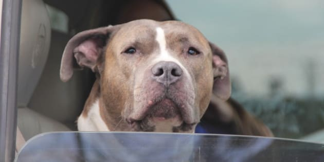 This breed is highly misunderstood, thanks to the actions of people who abuse them.  They are in reality  very loving, faithful, and forgiving dogs.