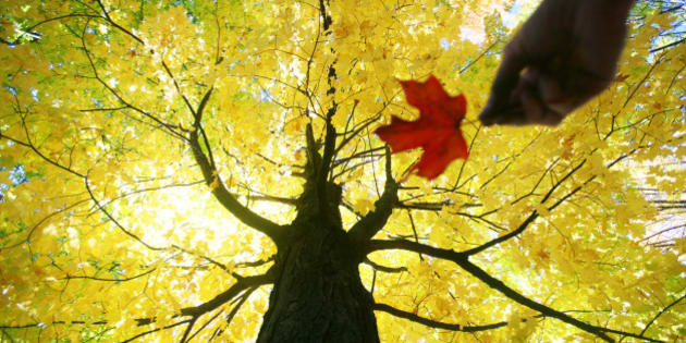 Caucasian woman holding red maple leaf under yellow tree