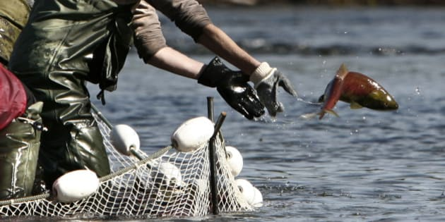 A worker with the Canadian Department of Oceans and Fisheries tosses a sockeye salmon back into  the water during tagging on the Adams River near Chase, British Columbia northeast of Vancouver October 10, 2006. Every year thousands of sockeye salmon travel 405 km (252 miles) from the Pacific through inland waters to the Adams River to spawn. Every fourth year, the dominant year of the cycle, the migration dwarfs all others.        REUTERS/Andy Clark (CANADA)